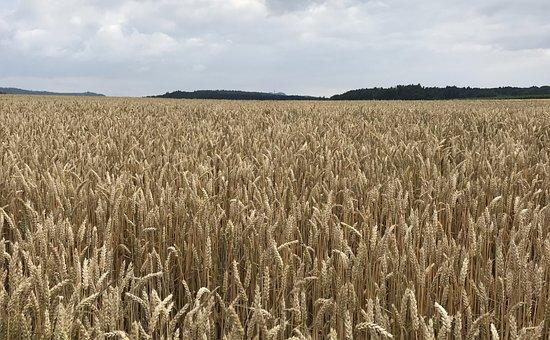 Corn, Field, Nature, Sky, Cornfield, Agriculture, Wheat