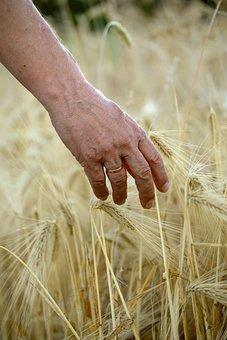 Hand, Human, Man, Cereals, Spike, Cornfield, Halme