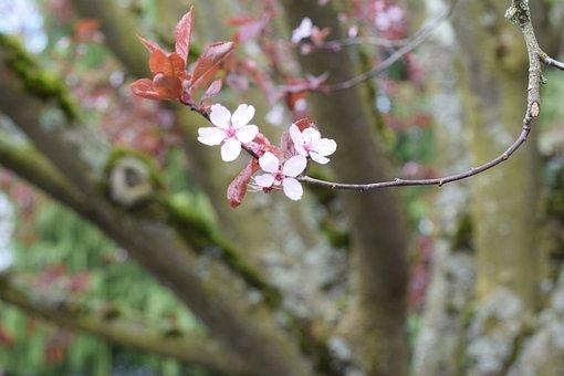 Cherry Blossom, Spring, Flower, Pink, Sakura, Blossom