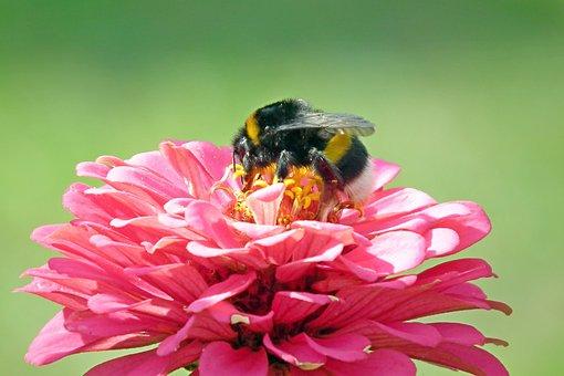 Bumblebee, Insect, Nature, Garden, Macro, Summer, Wings