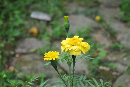 Yellow, Nature, Flowers, Spring, Summer, Flora, Plant