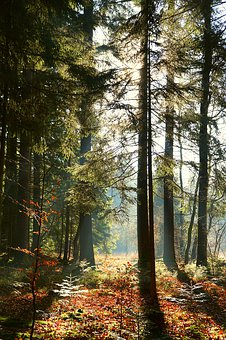 Forest, Sun Rays In The Forest, Trees, Sunbeam