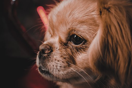 Dog, The Pekingese, Cute, Portrait, Animal, Furry