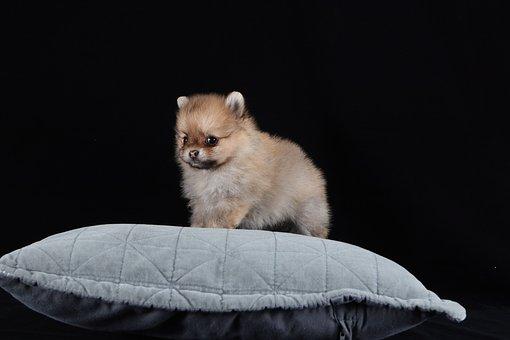 Pomeranian, Dog, Brown, White, Baby, Breed, Portrait