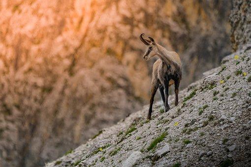 Chamois, Animal, Mammal, Mountain, Alps, Nature, Wild