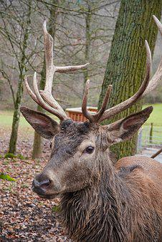 Wild, Wild Animal, Hirsch, Fallow Deer, Animal World
