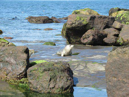Seals, Yorkshire Coast, Ravenscar, Sea, Rocks, Beach