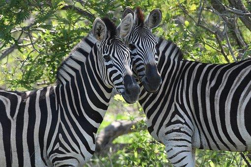 South Africa, Zebra, Safari, Kruger