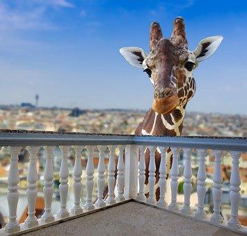 Giraffe, Animal, Africa, Safari, Zoo, Animal World