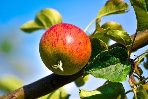 Agriculture, Apple Juice, Apple Pie, Apple Tree, Apples