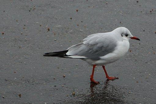 Bird, Seagull, Wings, Feathers, Beak, Freedom, Nature
