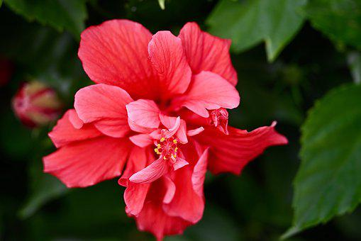 Hibiscus, Flower, Beauty, Blossom, Bloom, Bud, Tropical