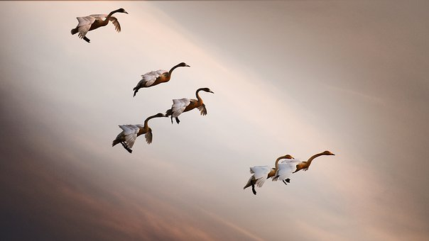 In The New Year, Cygnus, Autumn, New, Nature, Birds