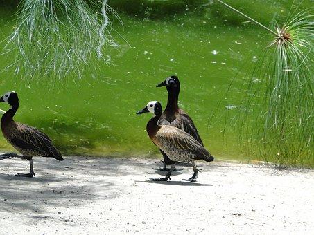 Ducks, Zoo, Birds, Animal, Nature