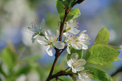 Blossom, Bloom, Plum, Plum Tree, Fruit Tree