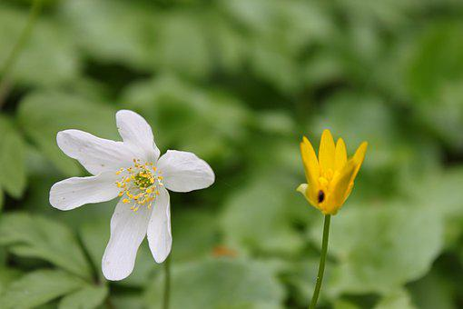 Forest, Anemone, Spring, Flower, Blossom, Bloom, White