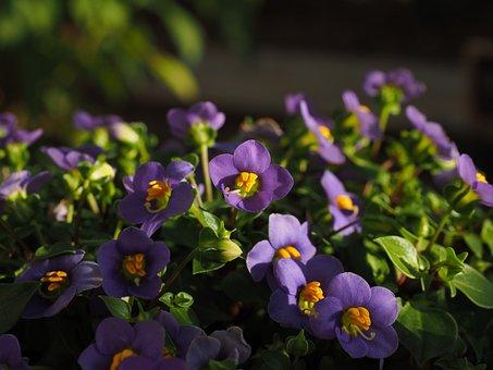 African Violets, Flower, Blossom, Bloom, Violet