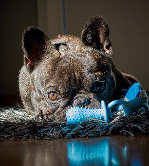 Dog, Toys, Pet, French, Bulldog
