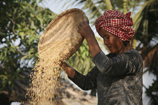 Rice, Harvest, Chaff, Asia, Agriculture, Cambodia