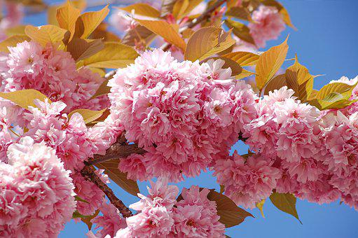 Ornamental Cherry, Cherry Blossom, Japan, Pink, Spring