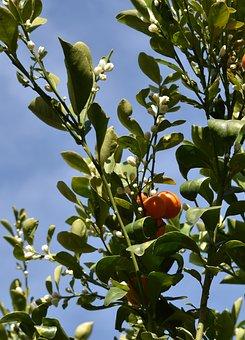Citrus Tree, Calamansi, Bloom, Asian Citrus