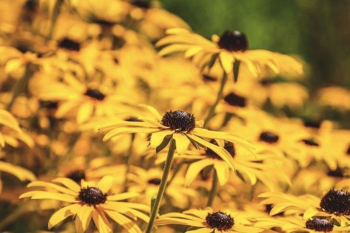 Rudbeckia Fulgida, Coneflower, Composites, Plant