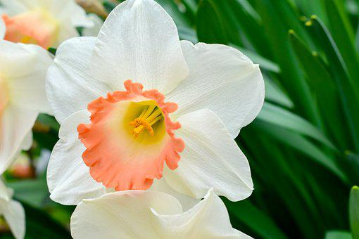 Closeup, Color, Colorful, Cultivation, Daffodil