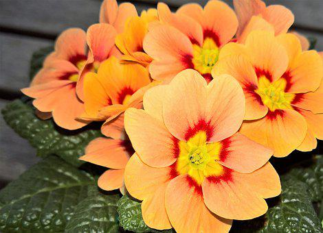 Primrose, Potted Plant, Early Bloomer, Winter