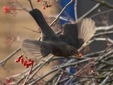 Blackbird, Male, Eating, Berries