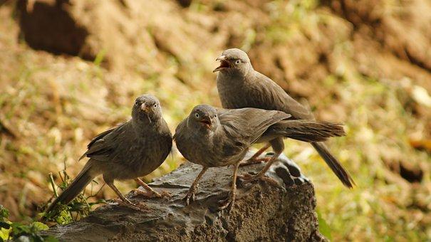 Jungle, Babbler, Nature, Leiothrichidae, Environment