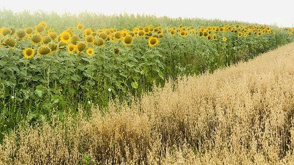 Sunflowers, Summer, Field, Yellow, Blossom, Flowers