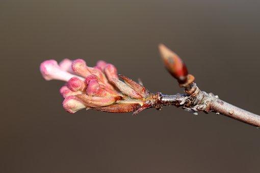 Winter Cherry, Bud, Snow Cherry, Flowering Twig