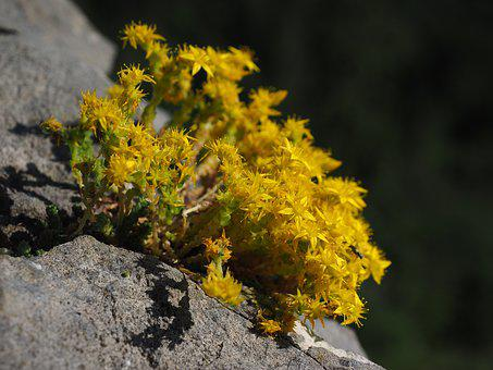 Sedum Cotyledon, Flower, Plant, Flowers, Yellow