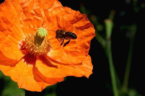 Poppy, Flowers, Plants, Bright Orange, Garden
