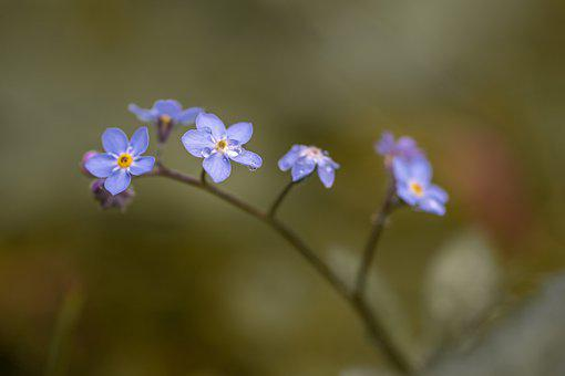 Forget Me Not, Summer, Green, Blue, Droplets, Nature