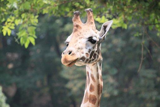 Giraffe, Animals, Zoo Italy