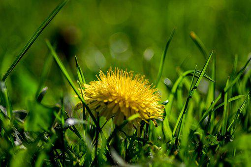 Dandelion, Sonchus Oleraceus, Flower, Yellow, Grass