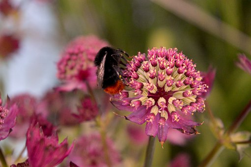 Hummel, Blossom, Bloom, Insect, Nature, Flower, Plant