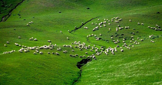 Italy, Tuscany, Sheep, Landscape