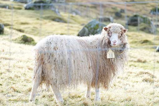 Sheep, Animal, Farm, Mammal, Lamb, Nature, Livestock