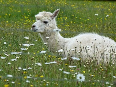 Alpaca, Fleece, Flowers, Animal, Domestic, Peruvian