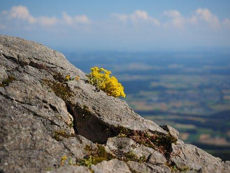 Sedum Cotyledon, Flower, Plant, Flowers, Yellow
