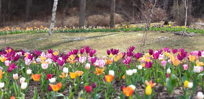 Nature, Plants, Flowers, Spring, Forest, Garden, Tulip