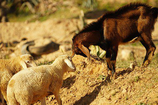 Sheep, Goat, Animals, Tunisia, Africa