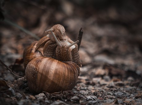 Snails, Love, Earth, Brown, Shell, Mollusk