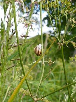 Snail, Humbug Snail, Grove Snail, Cepaea Nemoralis