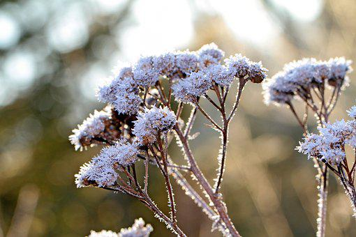 Wild Plant, Grass, Snow, Frost, Faded, Dried, Cold, Icy