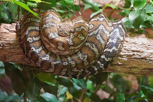 Boa Constrictor, Boa, Snake, Terrarium, Reptile, Animal