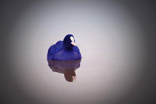 Coot Common, Reflection, Color, Beautiful, Alive