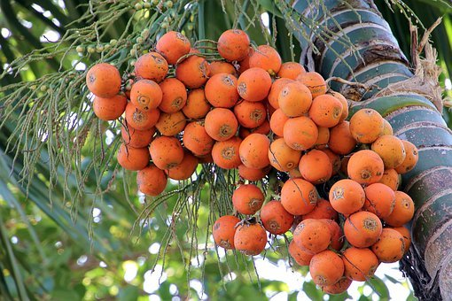 Areca Tree, Betel Nut Tree, Flora, Landscape, Foliage